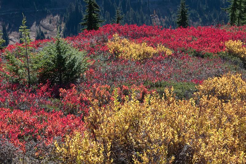 Fall Color on hillside #3