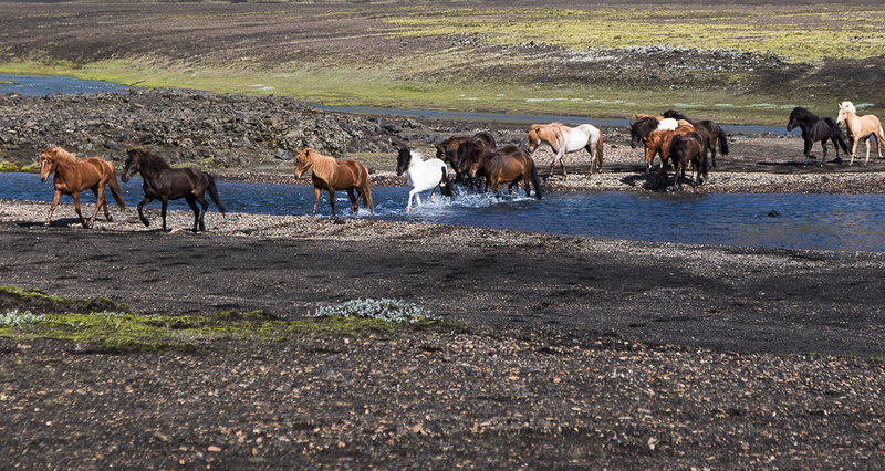 Iceland Horse Crossing #02