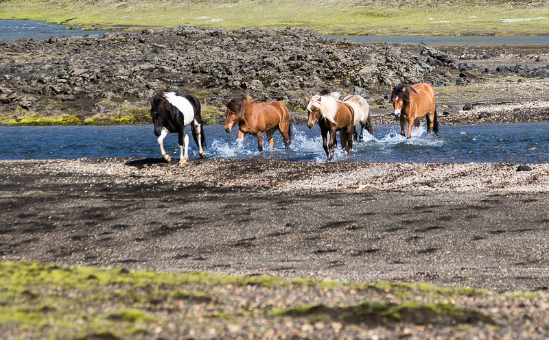 Iceland Horse Crossing #04