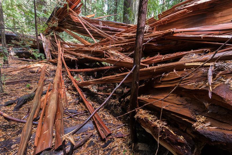 Splintered Windfall Redwood