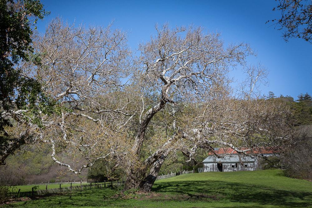 Oak, Andrew Molera State Park