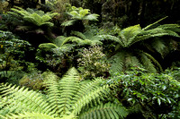 Tree ferns along The Chasm Nature Trail, NZ