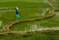 Rice Paddy with scarecrow
