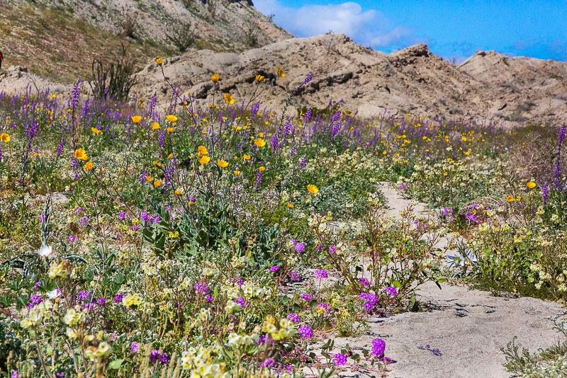 Anza-Borrego wildflower bloom 2019
