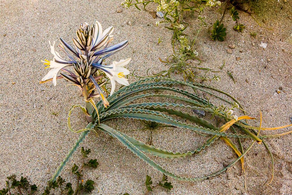 Desert Lilly,  Anza-Borrego SP, CA