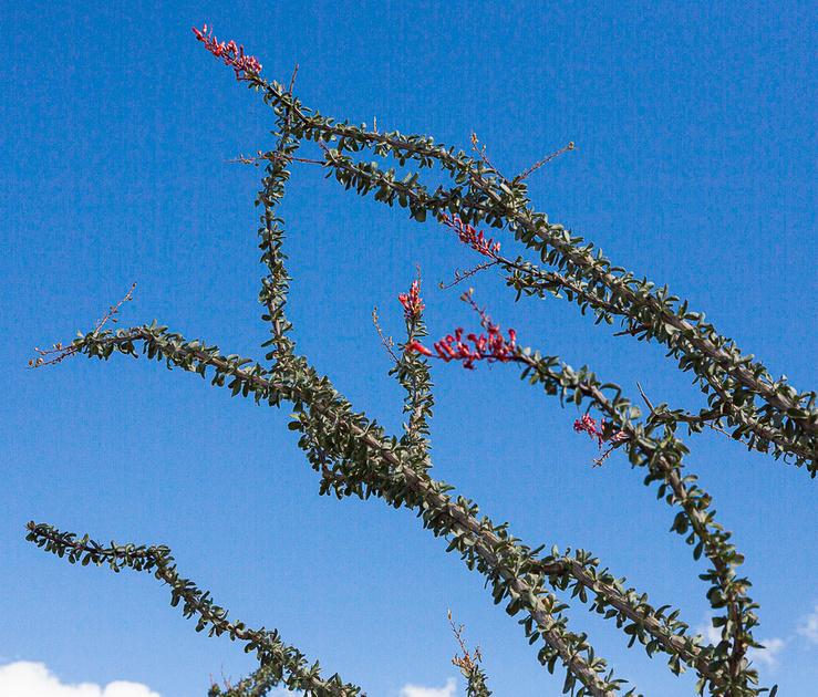 Octillo in bloom, an-Borrego SP CA