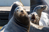 Sea Lions at Moss Landing