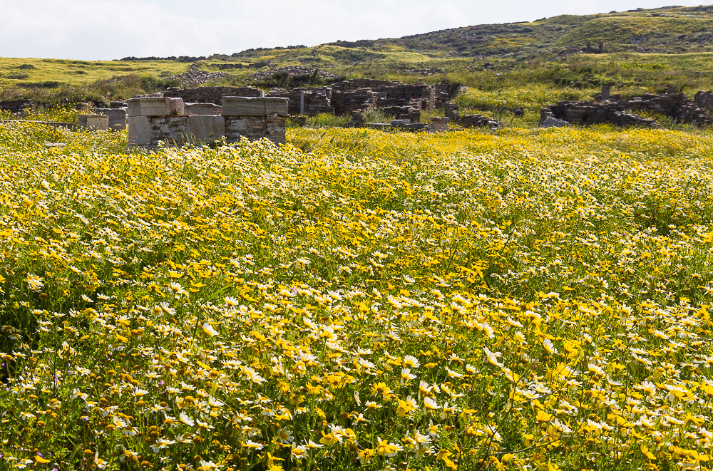 Wild Flowers at Delos #1