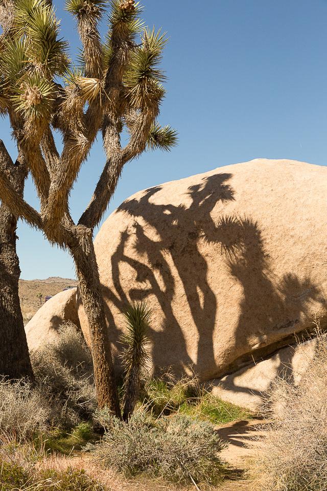 Joshua Tree and Shadow