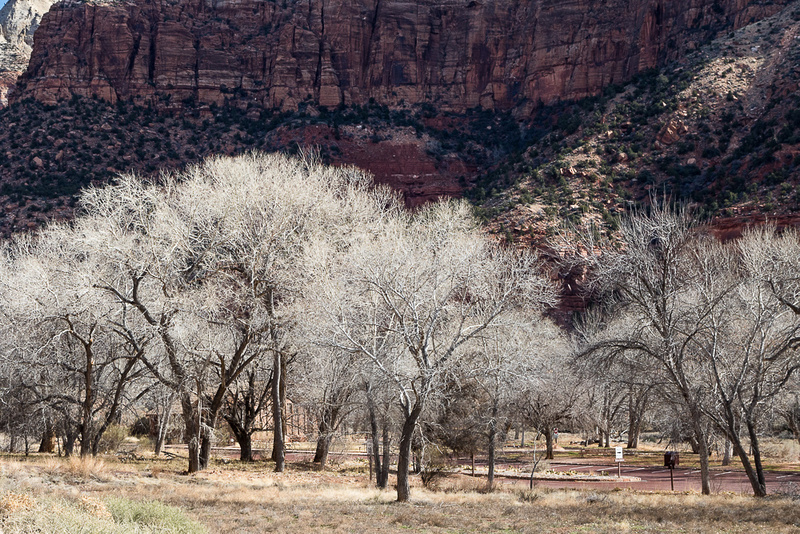 Winter trees in Zion NP #1
