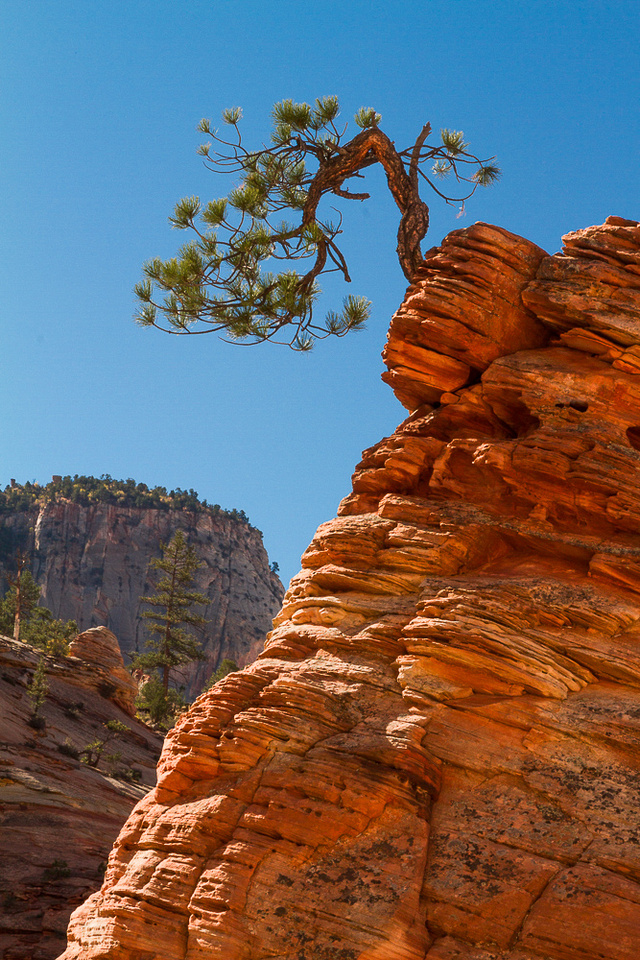 Bonsai Pine, On The Edge