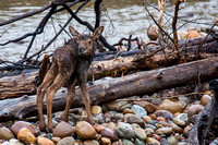 Stranded on island, Moose calf looking for mom