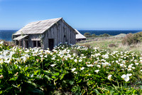 Sea Ranch Shack and Calla Lily