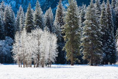 Winter Cottonwood's
