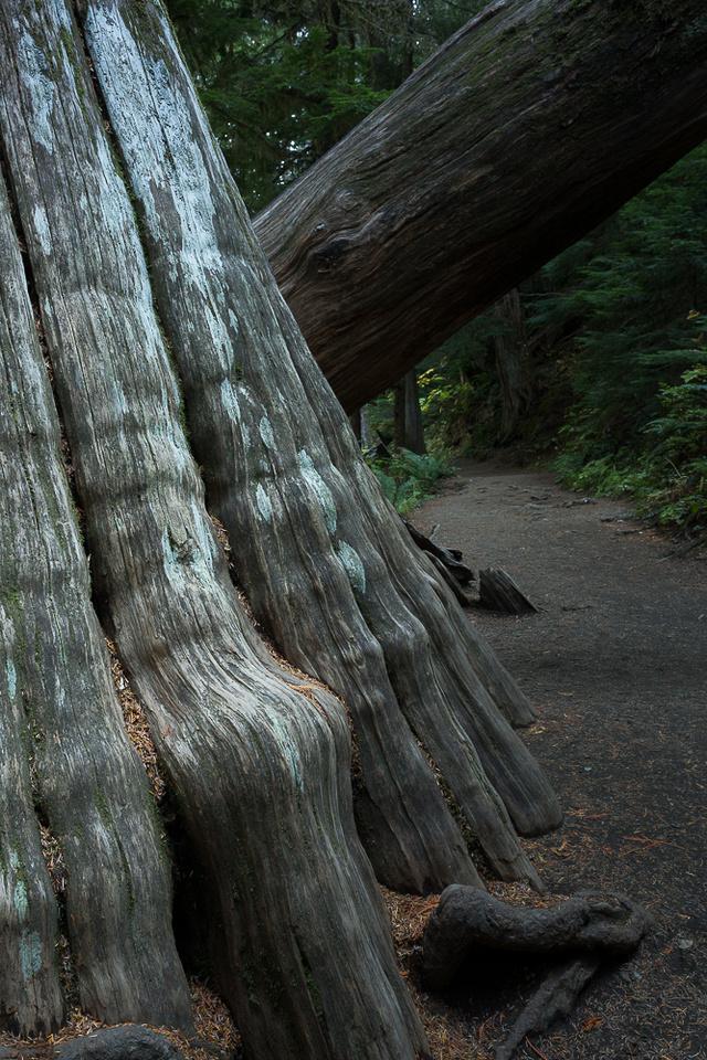 Western Cedar Tree Trunk