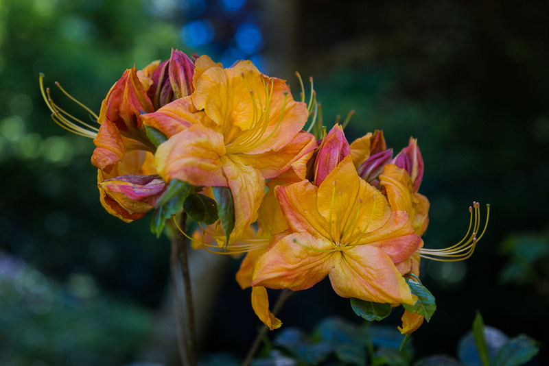 Deciduous Azalea in Butchart Gardens #1