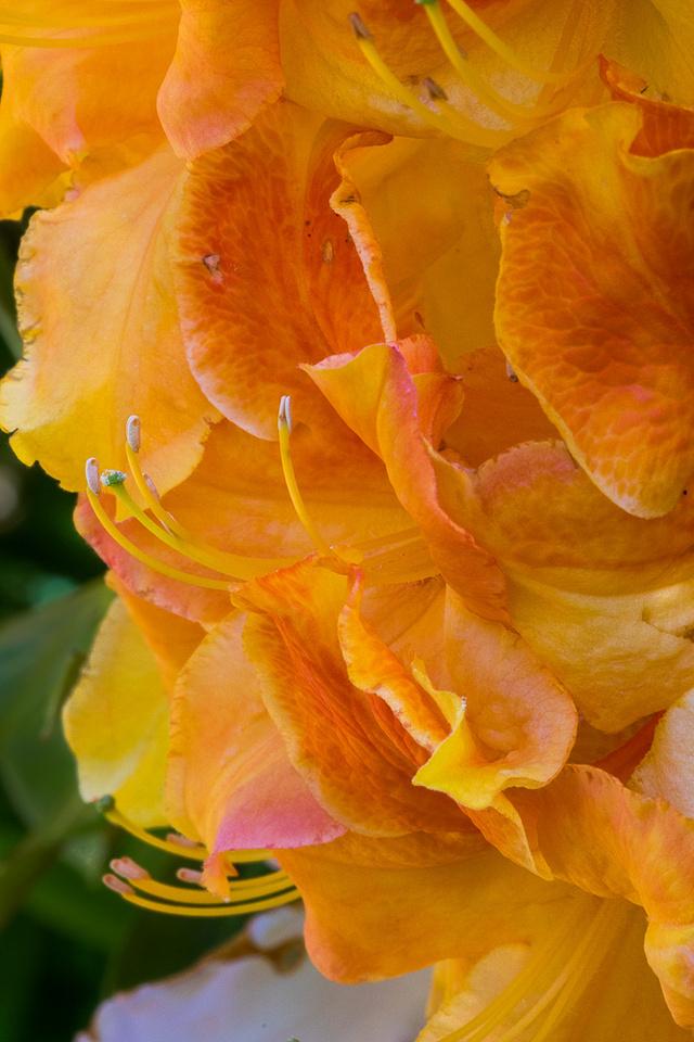 Deciduous Azalea in Butchart Gardens #2
