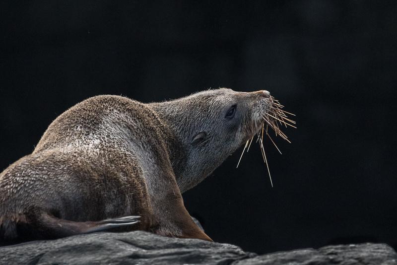 Sea Lion Banks Peninsula, NZ