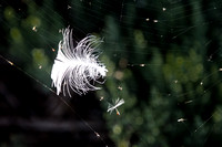 Feather in a web - 02