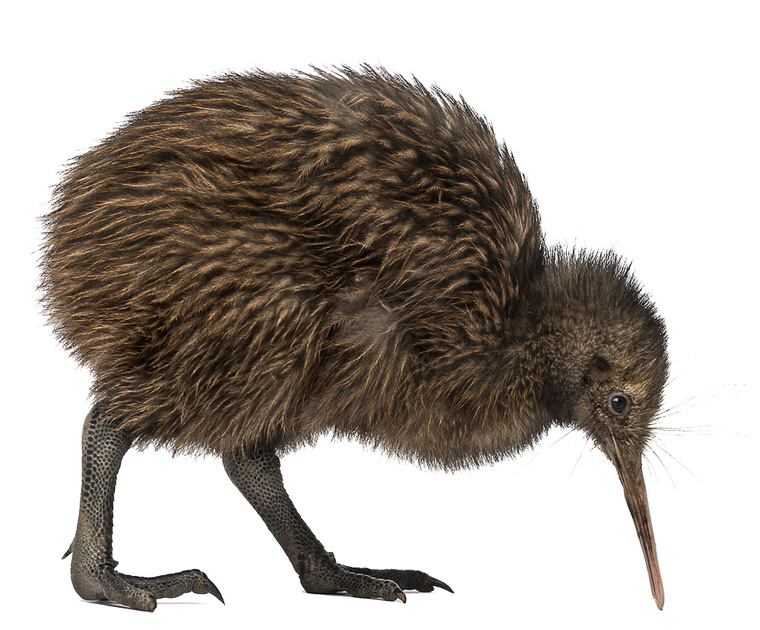 02 Kiwi-Bird-PNG-Image