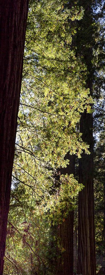 Redwood Glow