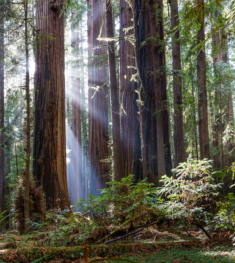 Redwood & Sun Ray