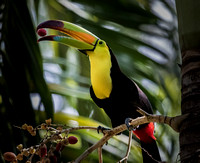 Toucan with Berry